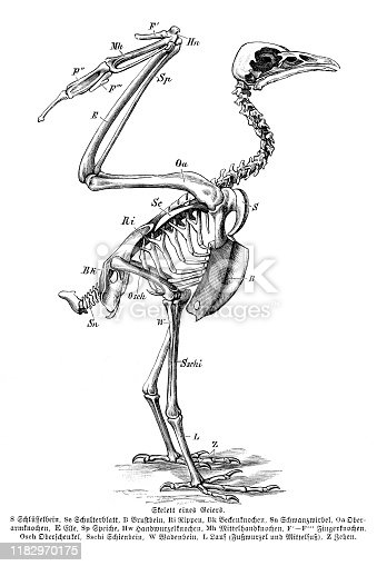 Skeleton of vulture description in german language Original edition from my own archives Source :
