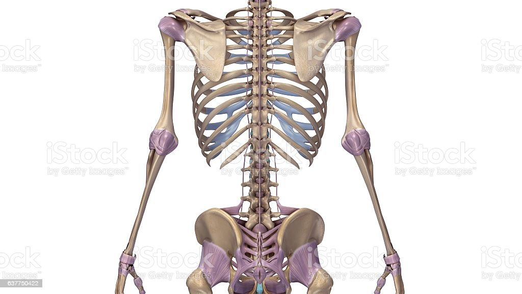 Skeleton With Ligaments Back Stock Vector Art & More Images of ...