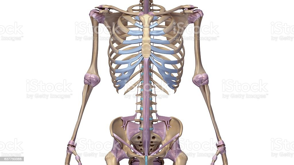Skeleton With Ligaments Stock Vector Art & More Images of Anatomy ...