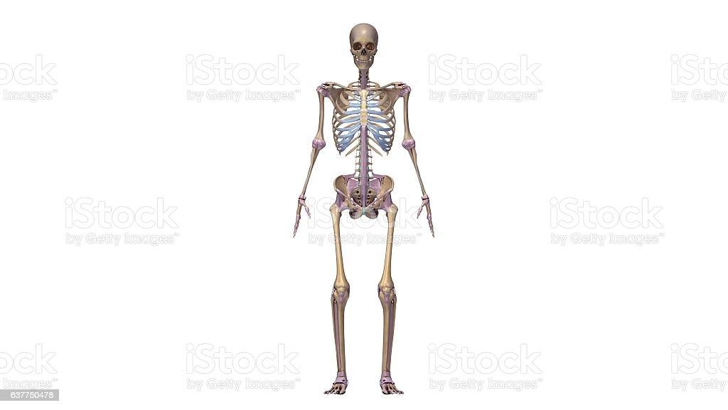 Skeleton With Ligaments Stock Vektor Art und mehr Bilder von ...