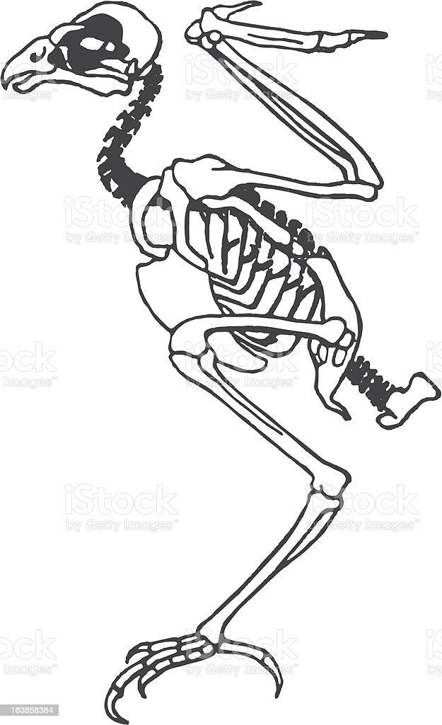 Skin Vogel Stock Vektor Art und mehr Bilder von Anatomie 163858384 ...