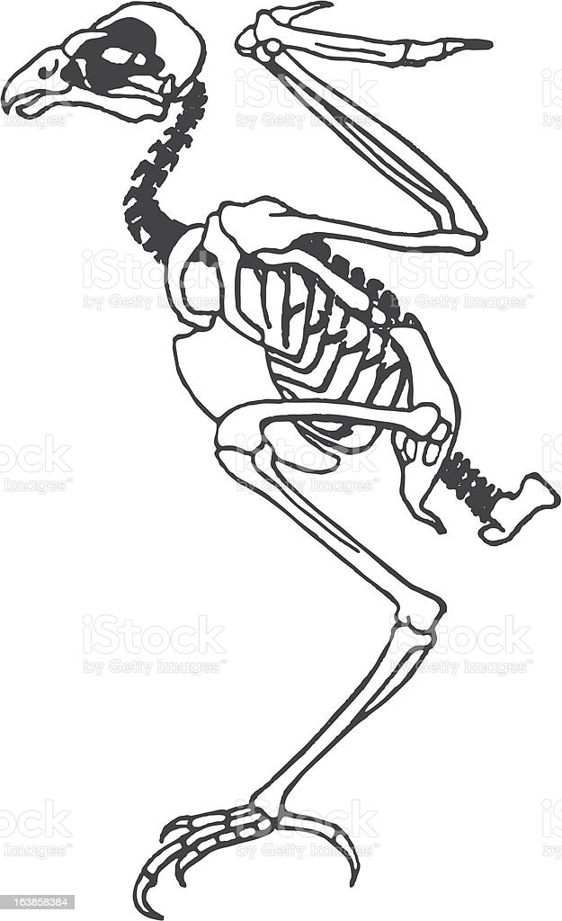 Skelett Vogel Stock Vector Art & More Images of Anatomy 163858384 ...