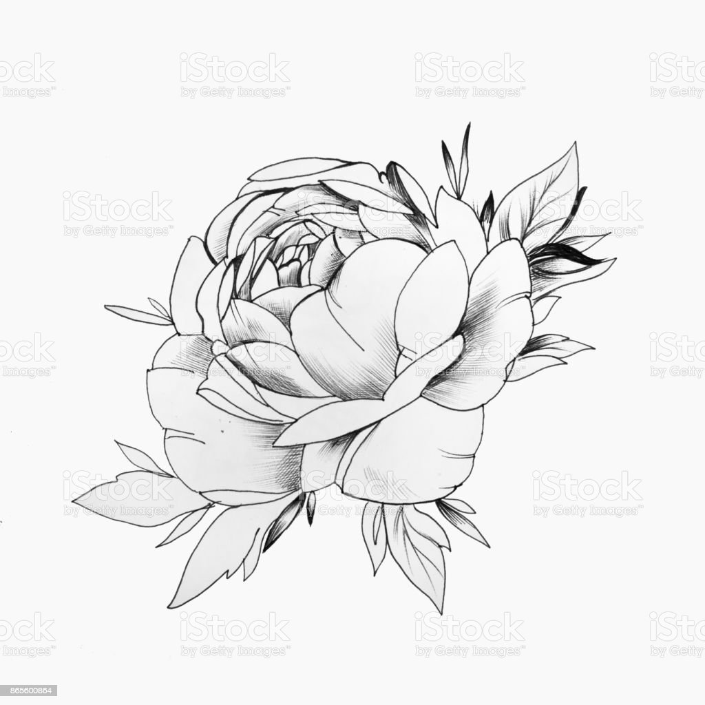Ilustración de Un Dibujo De Un Hermoso Capullo De Rosa Sobre Un ...