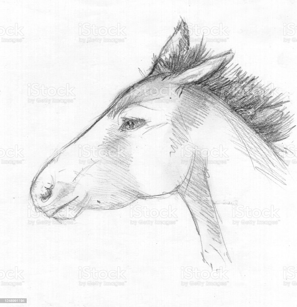Sketch Of A Wild Horses Head Charcoal Stock Illustration Download Image Now Istock
