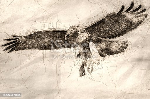 Sketch of Immature Red Tailed Hawk in Flight