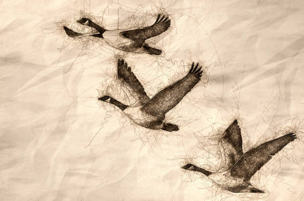 Sketch of Three Canada Geese Flying in a Blue Sky Sketch of Three Canada Geese Flying in a Blue Sky canada goose stock illustrations