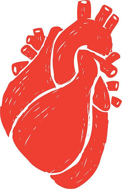 sketched human heart vector art illustration