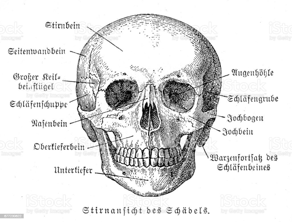 Skull Anatomy Engraving 1857 Stock Vector Art & More Images of ...