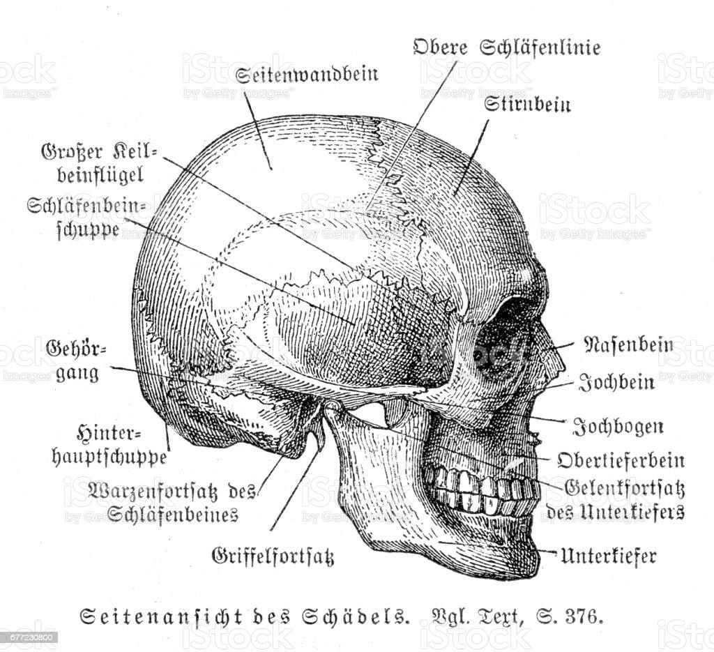 Ziemlich Anatomie Schädel Bilder - Menschliche Anatomie Bilder ...