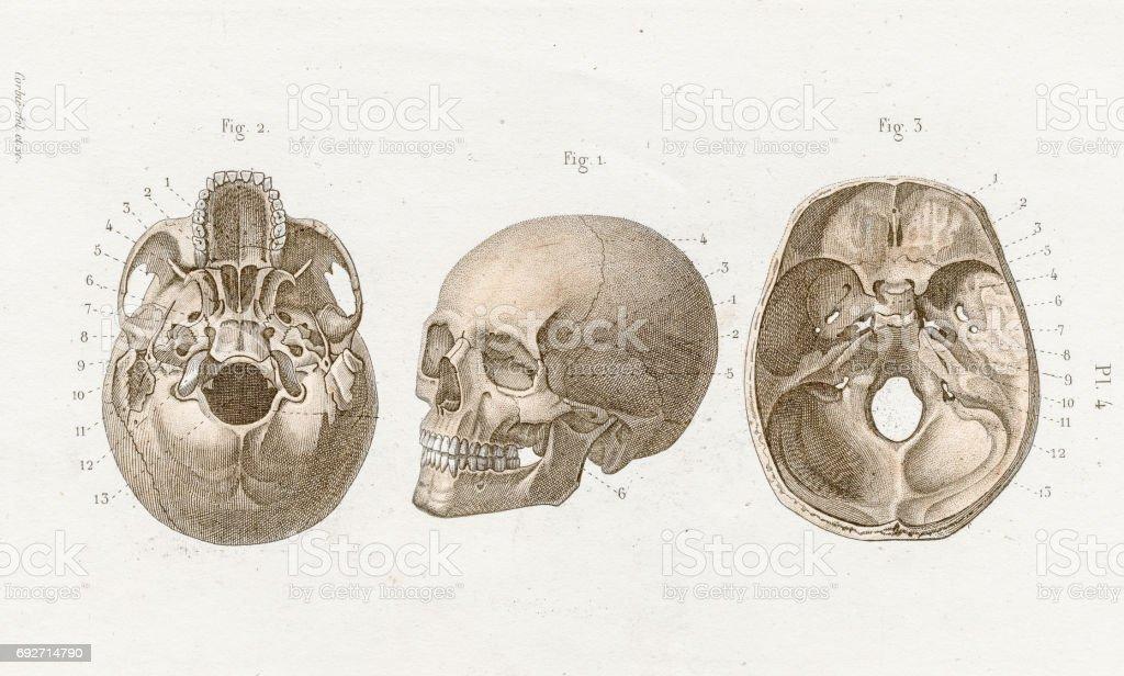Ilustración de Anatomía Cráneo Grabado De 1886 y más banco de ...