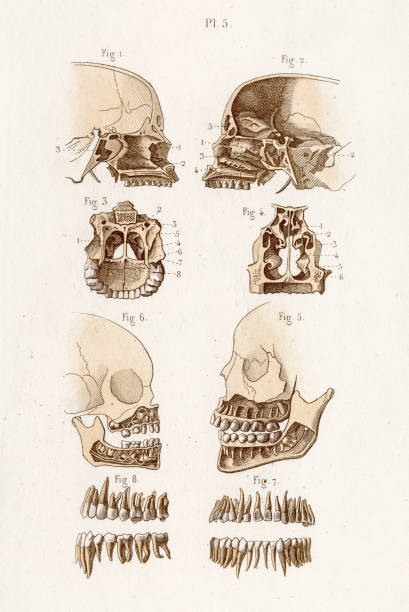 Skull anatomy engraving 1886 A Text book of Naked Eye Anatomy septum stock illustrations