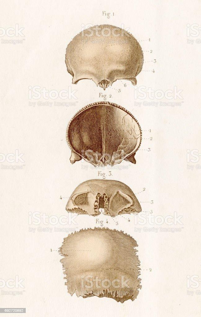 Schädel Knochen Anatomie 1886 Gravur Vektor Illustration 692720892 ...