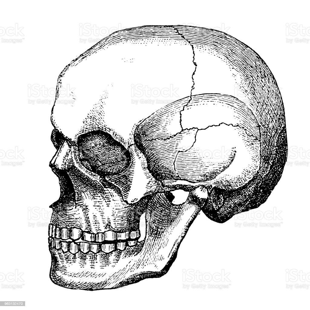 Skull vector art illustration