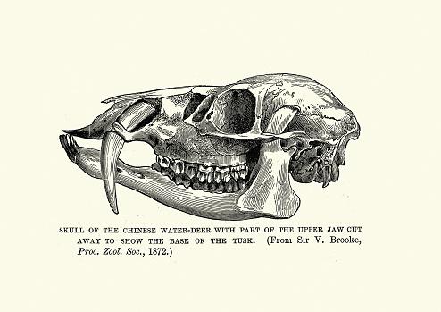 Cráneo de un ciervo de agua chino (Hidropotes inermis inermis)