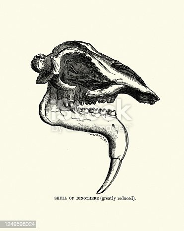 Vintage illustration of a Skull of a Dinothere (Deinotherium). A large prehistoric relative of modern-day elephants that appeared in the Middle Miocene and survived until the Early Pleistocene.