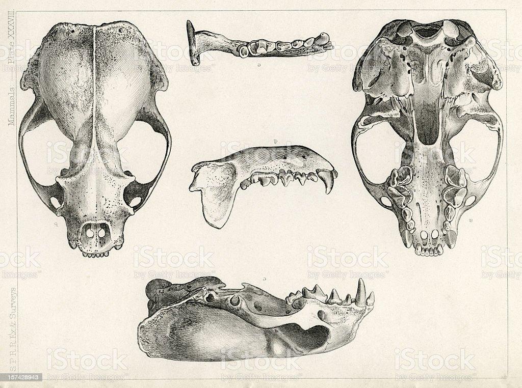 skull study vector art illustration