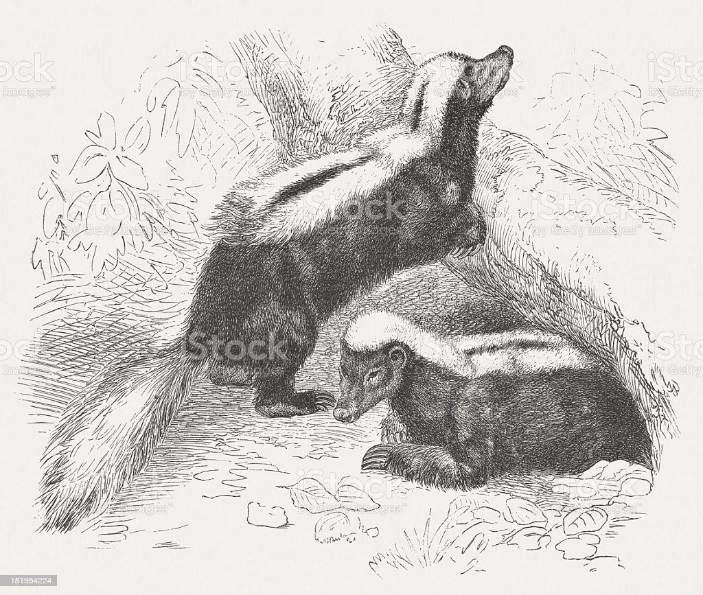 Skunks (Mephitidae), wood engraving, published in 1875 royalty-free stock vector art