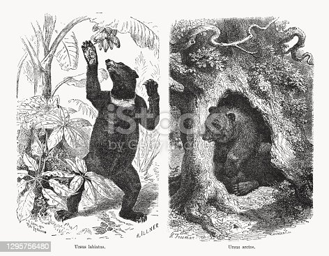 Sloth bear (Ursus labiatus) and Brown bear (Ursus arctos). Wood engravings, published in 1893.