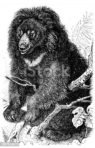 Illustration engraving of a Sloth bear (Ursus ursinus)
