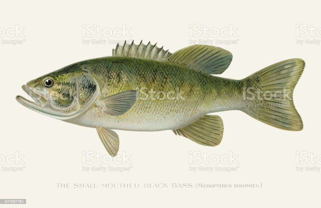 Small mouth black sea bass illustration 1896 vector art illustration