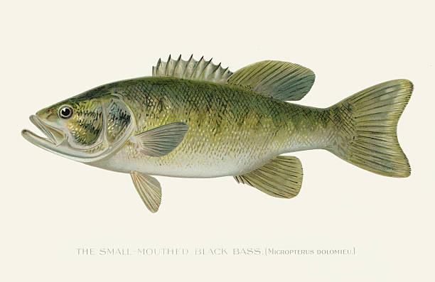 Small mouth black sea bass illustration 1896 vector art illustration