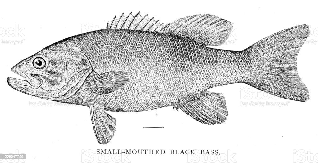 Small mouthed black bass engraving 1898 vector art illustration