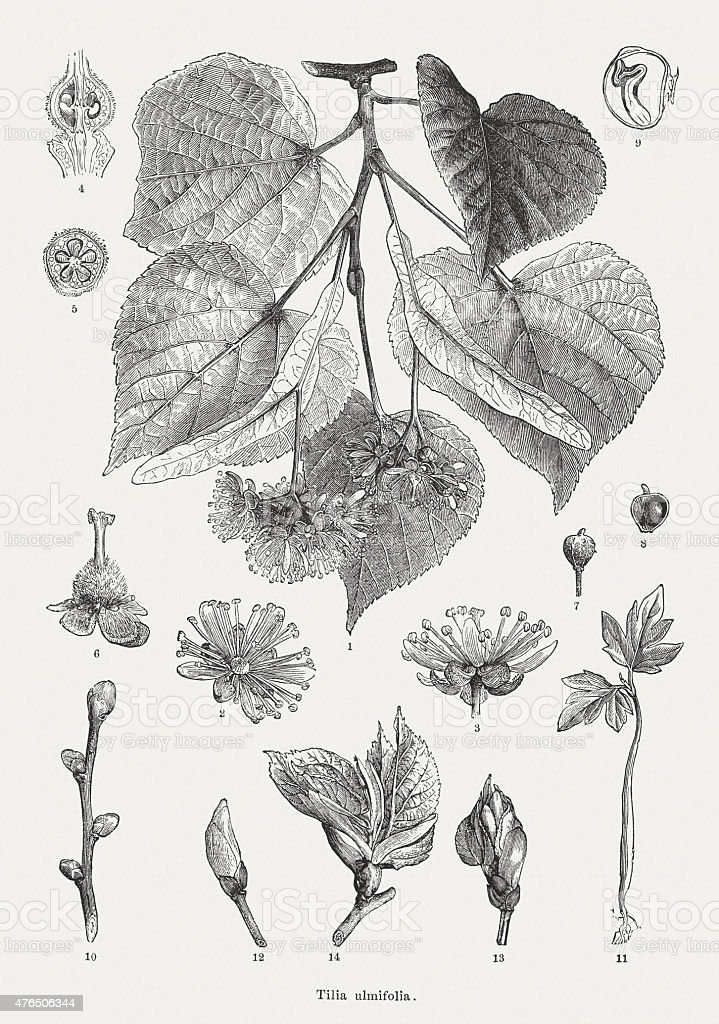 Small-leaved Lime, wood engravings, published in 1877 vector art illustration