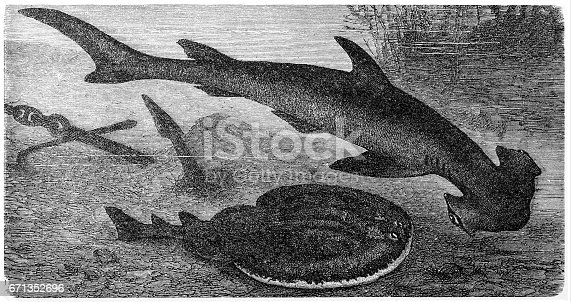 Illustration engraving of a Smooth hammerhead (Sphyrna zygaena) and Marbled Electric Ray (Torpedo Marmorata)