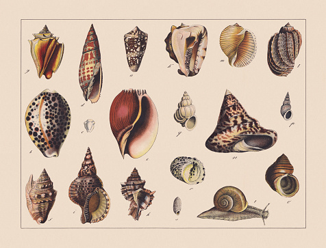 Snails (Gastropoda), hand-colored chromolithograph, published in 1882