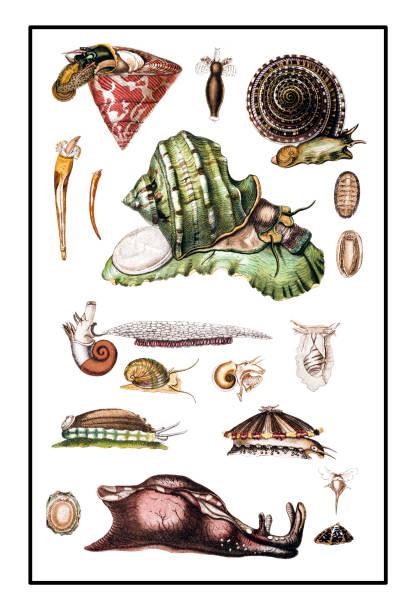 ilustraciones, imágenes clip art, dibujos animados e iconos de stock de caracoles - comida francesa