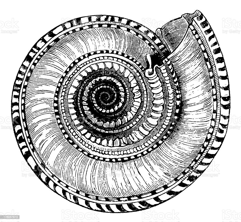 Snail's shell I Antique Animal Illustrations vector art illustration