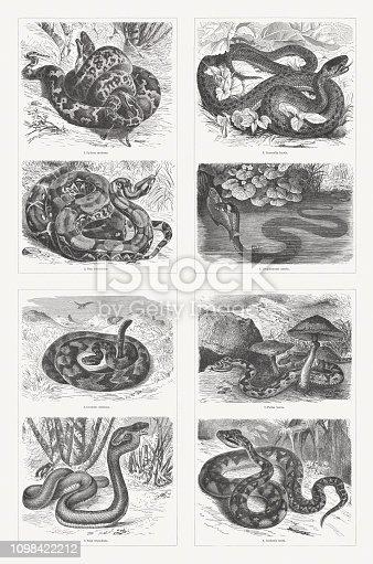 Snakes: 1) Indian python (Python molurus); 2) Red-tailed boa (Boa constrictor); 3) Smooth snake (Coronella austriaca, or Coronella laevis); 4) Grass snake (Natrix natrix, or Tropidonotus natrix); 5) South American rattlesnake (Crotalus durissus); 6) Indian cobra (Naja naja, or Naja tripudians); 7) European adder (Vipera berus, or Pelias berus); 8) Southern American bushmaster (Lachesis muta). Wood engravings, published in 1897.
