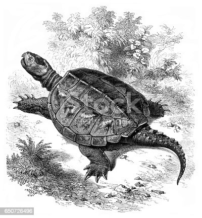 Steel engraving snapping turtle ( ( Emysaura Serpentina or Chelydra Lacertina ) 1861