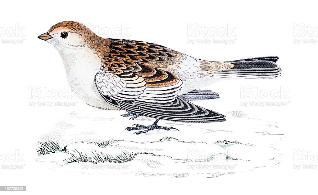 Snow Bunting - Hand Coloured Engraving royalty-free stock vector art