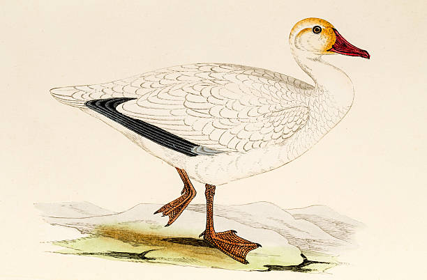 Snow goose, 19 century science illustration Snow goose. A photograph of an antique original hand-colored engraving from A History of British Birds by Morris published in 1853. snow goose stock illustrations