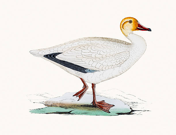 Snow goose A photograph of an original hand-colored engraving from The History of British Birds by Morris published in 1853-1891. snow goose stock illustrations