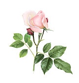 Isolated color pencil drawing single flower twig on white background. Ornate nature floral design element.