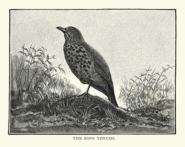ilustrações de stock, clip art, desenhos animados e ícones de música candidíase (turdus philomelos) - song thrush
