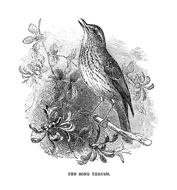 ilustrações de stock, clip art, desenhos animados e ícones de tordo ilustração música - song thrush