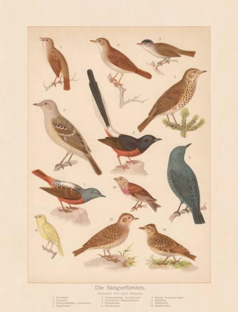 stockillustraties, clipart, cartoons en iconen met zangvogels, chromolithograph, gepubliceerd in 1888 - zanger vogel