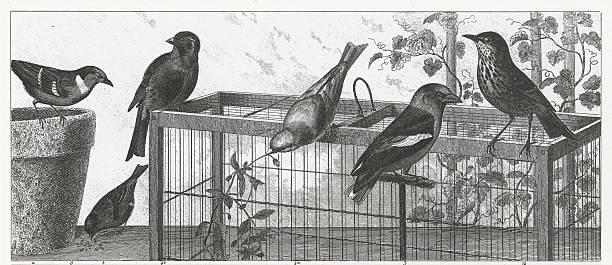 illustrations, cliparts, dessins animés et icônes de oiseaux chanteurs gravé - dessin cage a oiseaux