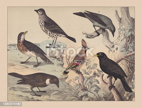 istock Songbirds (Passeriformes), hand-colored chromolithograph, published in 1882 1332374182