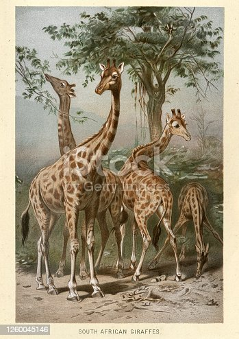 Vintage illustration of a South African giraffe or Cape giraffe (Giraffa camelopardalis giraffa) is a subspecies of giraffe ranging from South Africa, Namibia, Botswana, Zimbabwe, Mozambique.