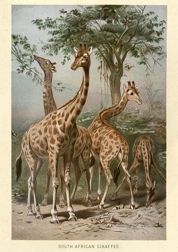 Vintage illustration of a South African giraffe or Cape giraffe (Giraffa camelopardalis giraffa) is a subspecies of giraffe ranging from South Africa, Namibia, Botswana, Zimbabwe, Mozambique.