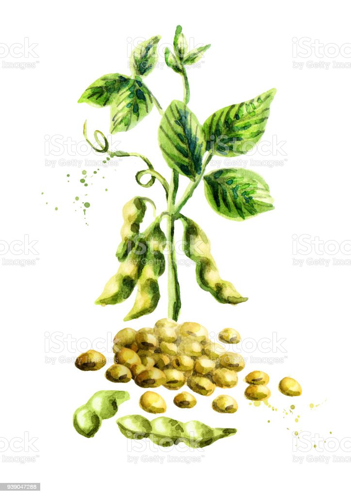 Soy beans and pland vertical composition. Watercolor hand drawn illustration. vector art illustration
