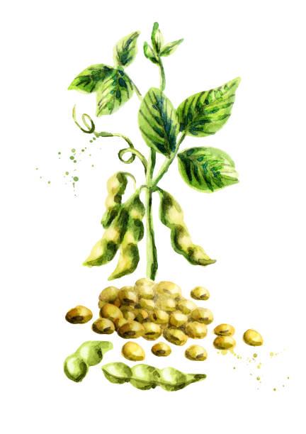 大豆と pland 垂直構成。水彩の手描きイラスト。 - 枝豆点のイラスト素材/クリップアート素材/マンガ素材/アイコン素材