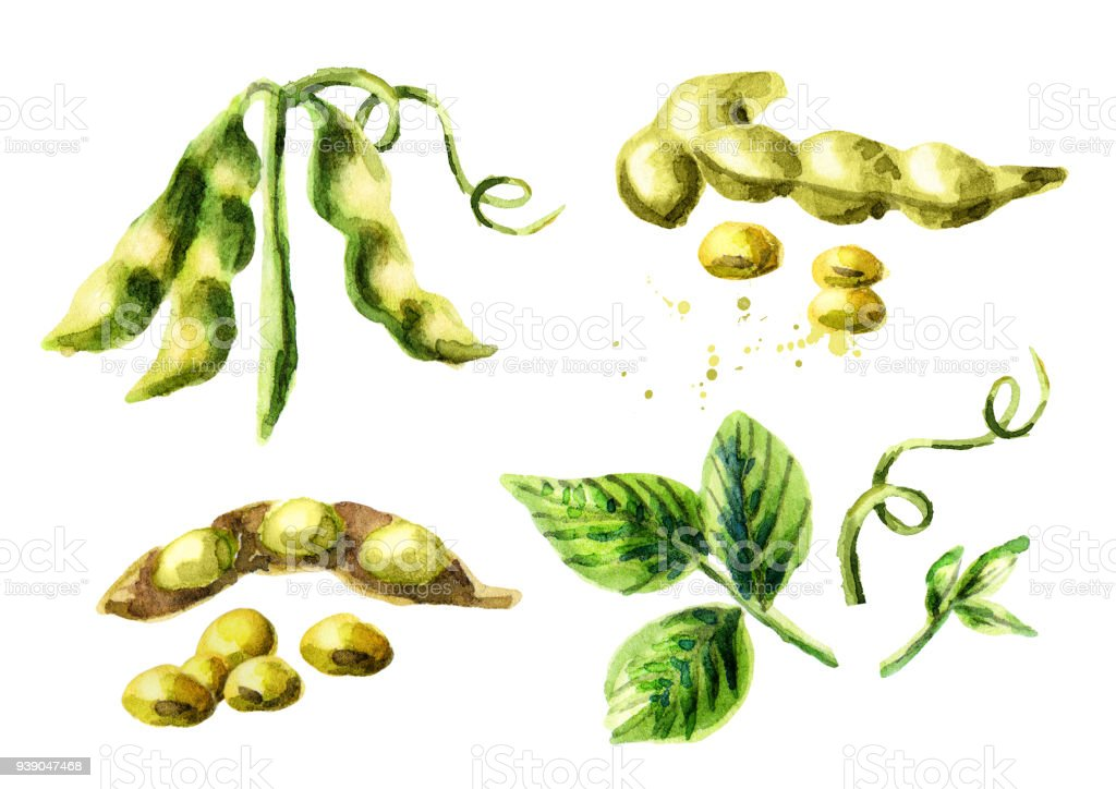 Soy compositions and elements set. Watercolor hand drawn illustration. vector art illustration