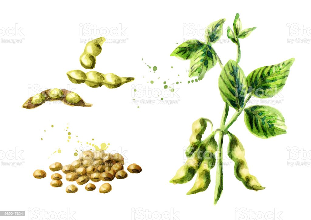 Soybean plant with leaves, pods and beans set. Watercolor hand drawn illustration. vector art illustration