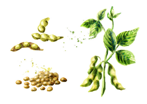 Royalty Free Soybean Plant Close Up Clip Art, Vector ...