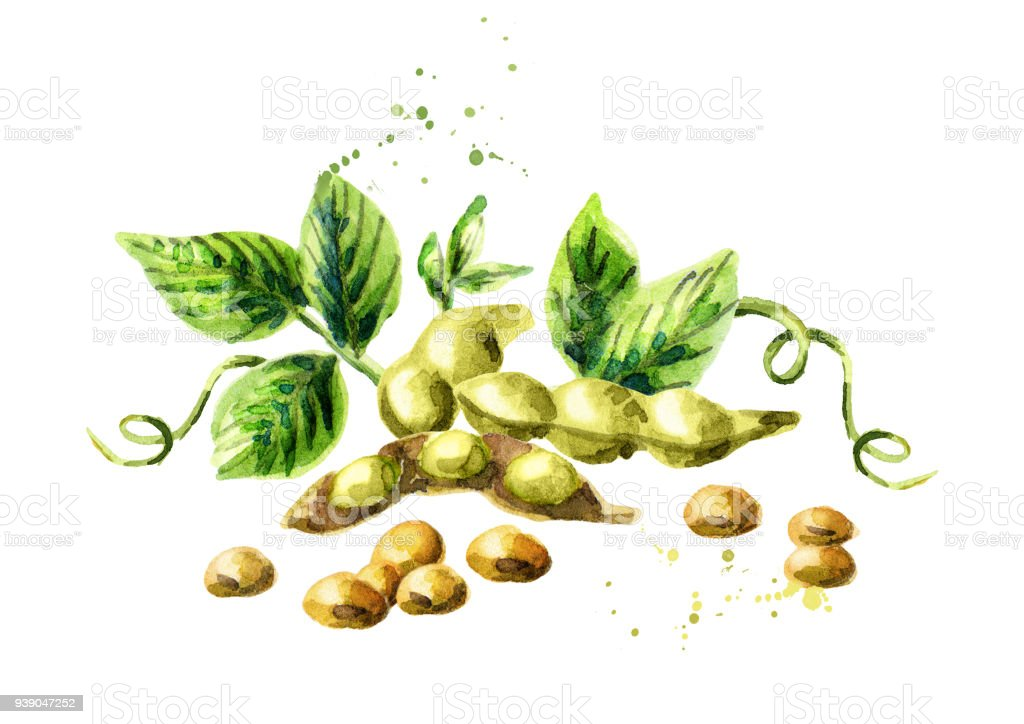 Soybeans composition. Watercolor hand drawn illustration. vector art illustration